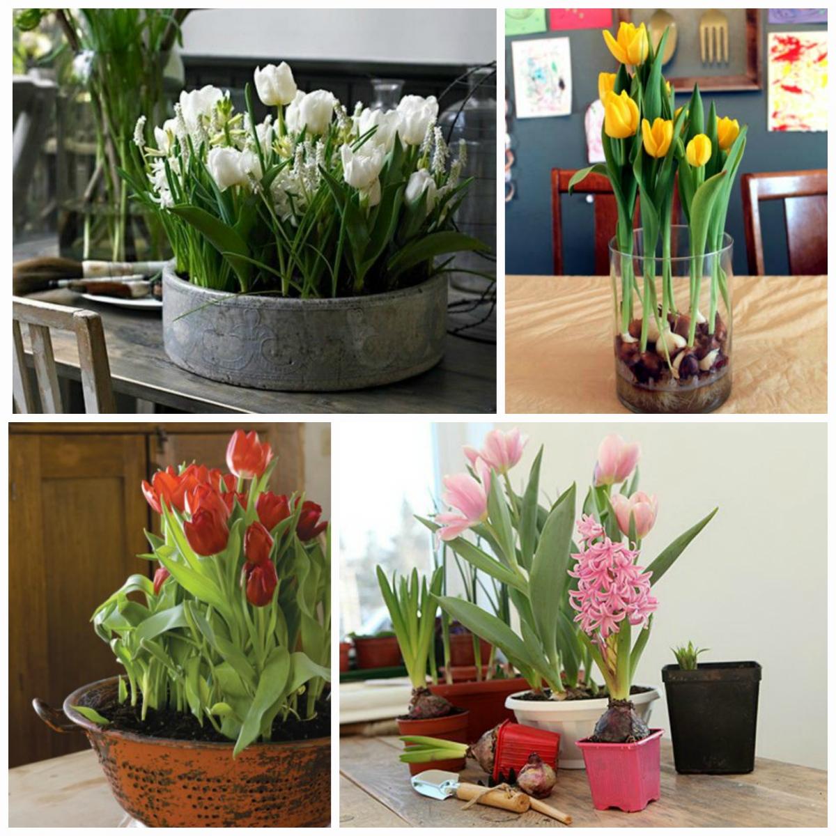 Сажать тюльпаны в доме 2